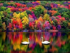 Cisnes en otoño_Swans in autumn All Nature, Amazing Nature, Beauty Of Nature, Green Nature, Pretty Pictures, Cool Photos, Amazing Photos, Simple Pictures, Amazing Artwork