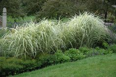 varigated Miscanthus | ... view full-size photo of Variegated Silver Grass (Miscanthus sinensis