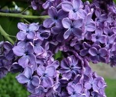 Lovely Lilacs...I can almost smell their scent!