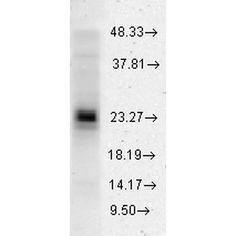 Rabbit Anti-HSP27 Antibody used in Western blot (WB) on Human HeLa cell lysates (SPC-106)