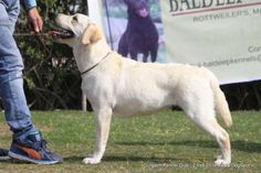 Labrador Retriever, Dog Show, Dog Pictures, Dogs, Animals, Image, Labrador Retrievers, Animales, Pictures Of Dogs