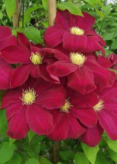 New Clematis launched at Chelsea Flower Show Love the deep wine colour of the flower, however I do feel that the colour, style and significance of the Passiflora is difficult to beat. Clematis Plants, Clematis Flower, Clematis Vine, Most Beautiful Flowers, Exotic Flowers, Pretty Flowers, Red Flowers, Hoshi, Climbing Vines