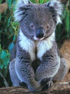 """Australia A Cute & Cuddly Koala ~ """"But"""" Don't Get One Angry ~ Cute & Cuddly goes right out the door!A Cute & Cuddly Koala ~ """"But"""" Don't Get One Angry ~ Cute & Cuddly goes right out the door! Cute Baby Animals, Animals And Pets, Funny Animals, Animals In The Wild, Beautiful Creatures, Animals Beautiful, Photo Animaliere, Australian Animals, Tier Fotos"""