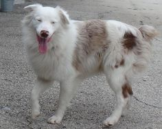 Blue is an adoptable Australian Shepherd searching for a forever family near Seguin, TX. Use Petfinder to find adoptable pets in your area.