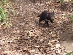 The Tasmanian Devil is actually nocturnal.