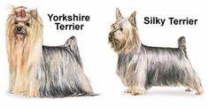 An Australian Silky Terrier is not a Yorkshire Terrier!
