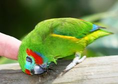 Double Eyed Fig Parrot enjoying a head scratch