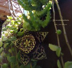 Flor de suculenta em minha jardineira. Foto : Cida Werneck Convido a conhecer a página :https://www.facebook.com/CidaWerneckregistroserecordacoes/
