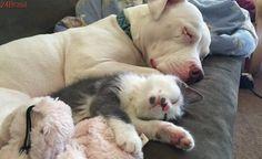 Pit bull resgatada se torna mãe adotiva de 20 gatinhos