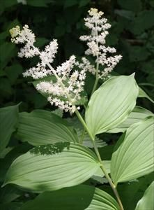 """False Solomon's Seal. Smilacina racemosa. Pacific NW gardeners enjoy all during growing season arching green leaves & spring flowers. Clump-forming perennial typically found in forest. As plants emerge in spring stems arch fr ground to 2-3' height bearing dark green alternating 6"""" longx3""""wide leaves. Beginning in Apr & extending to Jun plume-like clusters of small, white flowers appear which in late summer give rise to 1/4"""" berry which turns red. Moist, humus-rich acidic soil. Shade/part…"""
