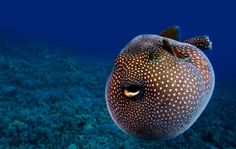 Guineafowl pufferfish, Hawaii. Photography By: Visuals Unlimited | Corbis