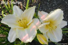 Big Snow Daylily photo by HappyGoDaylily
