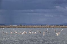 """izmir bird sancturay(DSCF9707-1.jpg) - located on the northersn shores of izmir bay and gediz delta,the sancuary covers an area of 8,000hectares and is home to 200 different bird species such as flamingos,pelicans,storks,etc.the flamingos in this region are light pink or sometimes white because of their diet in this region.the area is called """"izmir kuş cenneti"""";meaning izmir bird paradise in turkish.the area is also a salt basin and salt production facility."""