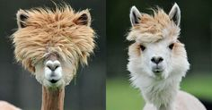 Alpacas are a domesticated species of South American camelid, bearing a striking resemblance to llamas only much smaller. They have been bred specifically for their 'fiber' which is used for similar knitted and woven products that wool is used for. This wonderful 'fiber' comes in more than 52 natural colors as classified in Peru,…