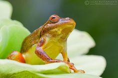 Mahogany Tree Frog - Tlalocohyla loquax
