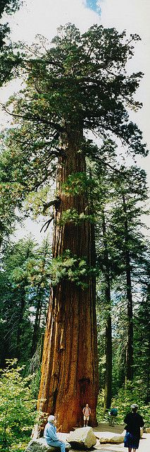 Giant Sequoia (Sequoiadendron giganteum) is one of two Official State Trees, the other being the Coast Redwood. The General Sherman Tree is over 274 feet high and more than 102 feet in circumference at its base; it is widely considered to be the world's largest tree in overall volume.