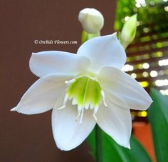 Amazon Lily (Eucharis amazonica)