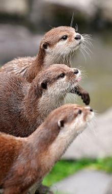 Three Otters In A Row