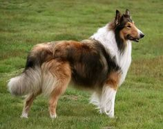Scotch Collie, Livestock, Corgi, Horses, Animals, Animales, Animaux, Corgis, Animal