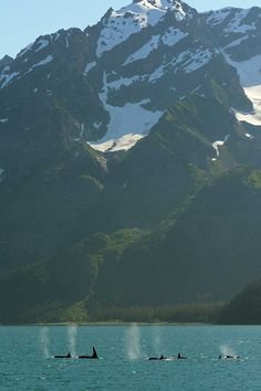 A pod of resident orcas in the Kenai Fjords, dwarfed by the breathtaking mountain range.Photo source.