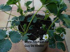 Inheems- en uitheems fruit: Aardbeien nu dringend planten (Fragaria x ananassa cv's)!