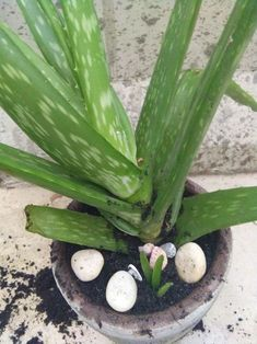 How to Revive a Dying Aloe Vera Plant. Aloe vera plants make great indoor or outdoor plants; they are also handy to have around because of their healing properties. These plants are succulents, and therefore can become sick due to. Succulent Gardening, Planting Succulents, Garden Plants, Container Gardening, Planting Flowers, Vegetable Gardening, Organic Gardening, Veg Garden, Garden Edging