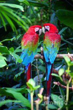 Two Parrots by Randy Harris – Parrot Tropical Animals, Colorful Parrots, Tropical Birds, Exotic Birds, Colorful Birds, Exotic Pets, Pretty Birds, Beautiful Birds, Amazon Birds