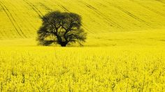 Free Nature Pictures: Sweet Chestnut Tree In A Oil Rape Seed Field, Wilt...