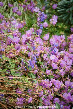 Geranium cantabrigiense 'Cambridge Blue' flowering in garden