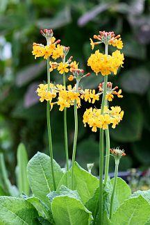 "Primula bulleyana ""Candelabra Primrose"" - can handle part shade"