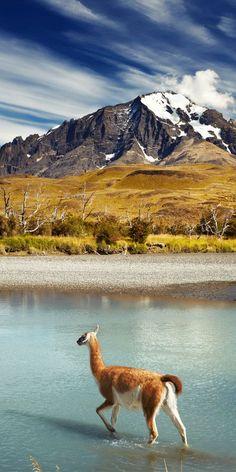 Guanaco. Patagonia, Argentina