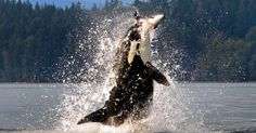 Fotógrafa flagra orca saltando fora da água e capturando toninha no Canadá