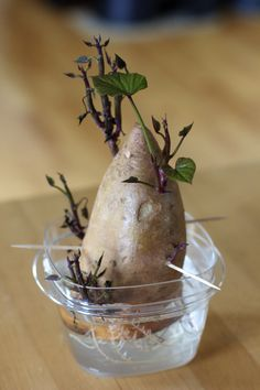 Growing SweetPotatoes.  That time of year again to get your slips growing.  Be sure to use OG or they may not sprout.