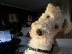 Is it my turn yet to use the laptop? Fox Terriers, Wire Fox Terrier, Winnie Dogs, Animals And Pets, Cute Animals, Unusual Dog Breeds, Wire Haired Terrier, Pet Fox, Sweet Pic