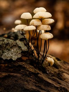 White Mushrooms****FOLLOW OUR UNIQUE GARDENING BOARDS AT www.pinterest.com/earthwormtec*****FOLLOW us on www.facebook.com/earthwormtec  www.google.com/+earthwormtechnologies for great organic gardening tips #mushrooms #forest