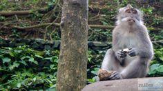- Check more at https://www.miles-around.de/asien/indonesien/bali-irrfahrt-zum-quellentempel/,  #Affen #Bali #Indonesien #Natur #Reisebericht #Tempel