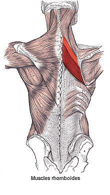 Muscle rhomboïde — Wikipédia