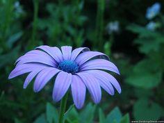 Desktop Wallpapers » Flowers Backgrounds » African Daisy » www ...