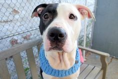 JASPER - A1095542 - - Manhattan  Please Share:TO BE DESTROYED 11/14/2016 A volunteer writes: Ready to par-tay? Jasper is ready to meet you! Gorgeous in his clean and groomed coat, he's fun, lively and playful, ready to engage in a good game of tug with his rope toy. After I let him win (shhhh – our secret), he kept bringing it back to me for another game – I guess in his mind he was giving me another chance….how kind  He's puppy-like bouncy