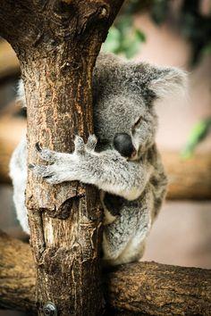 Sieste du Koala DULCE...