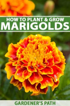 Heres What Industry Insiders Say About Marigold Flower Marigolds In Garden, Growing Marigolds, Hydrangea Garden, Growing Flowers, Flowers Garden, Planting Flowers From Seeds, Flower Gardening, Garden Plants, Companion Planting Chart