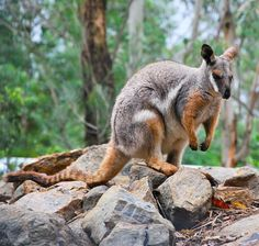 Petrogale penicillata : Brush-tailed Rock-wallaby | Atlas of Living Australia