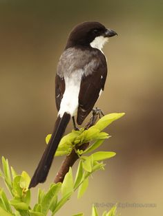 The Long-tailed Fiscal (Lanius cabanisi) is a species of bird in the shrike family Laniidae. It is found in southern Somalia, southern and south-eastern Kenya, from the shores of Lake Victoria to the coast; and northern and eastern Tanzania south to Dar es Salaam, with a separate population at Usanga Flats.