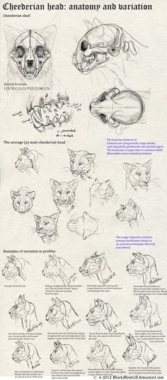 Cheederian head anatomy by BlackMysticA.deviantart.com on @deviantART