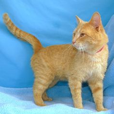 Aslan #0135 - Male orange tabby cat available for adoption at Eau Claire County Humane Association, in Eau Claire, Wisconsin.    http://eccha.org