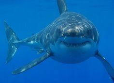 "Recent attacks spur Australia to hunt ""dangerous"" Great White Sharks. He Looks Like He's Smiling"