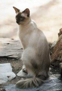 Balinese - The Balinese cat is relatively new to the cat world, beginning in the mid 1950s   (although a longhaired Siamese was registered in 1928).