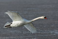 Photos of Swans | Mute_Swan23