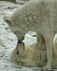 Wolf Fact: Wolves are one of the many animals that choose a mate for life. Wolf Pictures, Animal Pictures, Beautiful Creatures, Animals Beautiful, Tier Wolf, Animals And Pets, Cute Animals, Strange Animals, Animals Kissing
