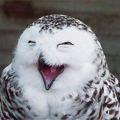 Le harfang des neiges (Bubo scandiacus) est une espèce d'oiseau de la famille des strigidés. Il est aussi appelée ookpik par les Inuits. Il est l'emblème aviaire du Québec. En Europe, on l'appelait Chouette Harfang, mais en Amérique du Nord on le considère comme un hibou, car il possède des petites plumes sur sa tête, appelé aigrettes. Elle ne sont pas visibles car elles sont très petites et repliées sur sa tête.